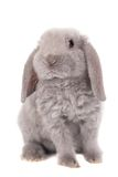 Grey lop-eared rabbit rex breed. Isolated on white Stock Photography
