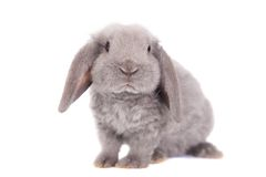 Grey lop-eared rabbit rex breed Royalty Free Stock Image
