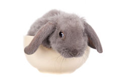 Grey lop-eared rabbit rex breed Royalty Free Stock Photos