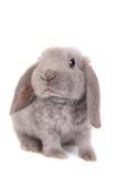 Grey lop-eared rabbit rex breed Stock Photos