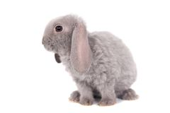 Grey lop-eared rabbit rex breed Stock Photography