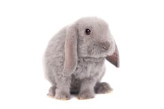 Grey lop-eared rabbit rex breed Royalty Free Stock Photo