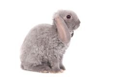 Grey lop-eared rabbit rex breed Stock Photo
