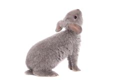 Grey lop-eared rabbit rex breed Royalty Free Stock Photography
