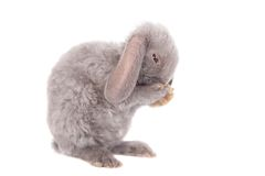 Grey lop-eared rabbit rex breed Stock Image