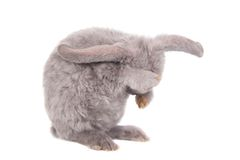 Grey lop-eared rabbit rex breed Stock Photos