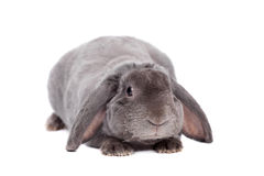 Grey lop-eared rabbit rex breed on white Stock Images