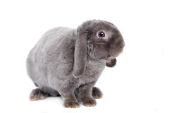 Grey lop-eared rabbit rex breed on white Stock Photos