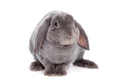 Grey lop-eared rabbit rex breed on white Stock Photography