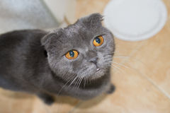 Grey lop-eared Scottish Fold cat is asking for food Royalty Free Stock Images