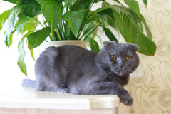 Grey lop-eared Scottish Fold cat sitting near Spathiphyllum flower at the edge of the table Royalty Free Stock Image