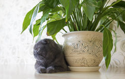Grey lop-eared Scottish Fold cat sitting near Spathiphyllum flower on the table Royalty Free Stock Photo