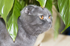 Grey lop-eared Scottish Fold cat sitting under Spathiphyllum flower leaves Royalty Free Stock Image