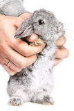 The Grey Lop Rabbit. Stock Photo