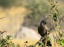 Grey lourie, also know as go-away-bird sitting on tree branch. Grey Lourie aka go-away-bird Corythaixoides concolor sitting on green tree branch in his natural royalty free stock photo