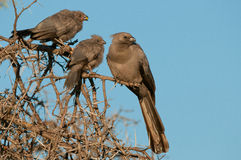 Grey lourie with chicks Stock Photo