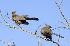 Grey Lourie (Corythaixoides concolor) Royalty Free Stock Images