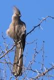 Grey Lourie (Corythaixoides concolor) Royalty Free Stock Photos