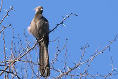 Grey Lourie (Corythaixoides concolor) Royalty Free Stock Image