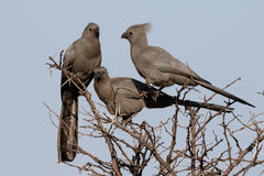 Grey lourie, Corythaixoides concolor Royalty Free Stock Images