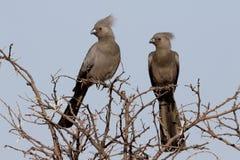 Grey lourie, Corythaixoides concolor Stock Photo