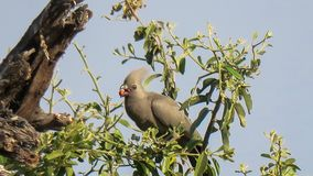 Grey lourie or Go-away-bird Corythaixoides concolor sitting on tree branch with red seed in his mouth. Grey louire aka Go-away-bird Corythaixoides concolor royalty free stock photography