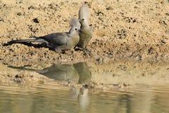 Grey Lourie - oiseaux sauvages d'Afrique - coiffure de crête et beauté de fond Photos libres de droits
