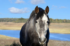 Grey lusitano horse. A grey lusitano horse walking up the hill with a lake in the background Stock Photography
