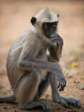 Grey macaque monkey at Yala National Park Stock Photo