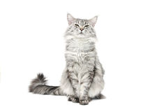Grey maine coon cat Royalty Free Stock Image