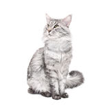 Grey maine coon cat Stock Photography