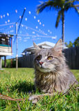 Tabby Cat in the yard. A grey Maine Coon tabby cat lying on the grass. The background is a typical Australian back yard with rotary, wooden fence, palm tree and Stock Photography