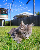 Tabby Cat sniffing a flower. A grey Maine Coon tabby cat sniffs a tiny wild flower in the grass. The background is a typical Australian back yard with rotary Stock Photos