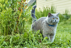 Grey male cat marking territory Royalty Free Stock Photo