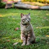 Grey male cat Stock Photos