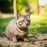 Grey male cat Stock Images