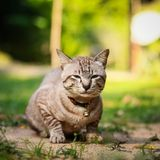Grey male cat Royalty Free Stock Image