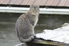 Tabby on a Tin Roof Stock Images