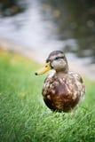 Grey mallard duck on green grass. Nature Stock Photography