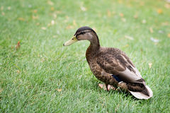 Grey mallard duck on green grass. Nature Royalty Free Stock Image