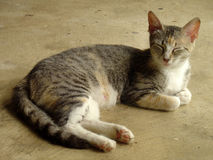 Grey Mama Tabby Cat Resting em Mississippi Fotos de Stock