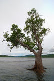 Grey Mangrove Tree Stock Images