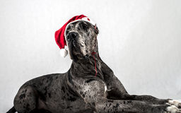 Grey marble Great Dane with a cap of Santa Claus Stock Photos