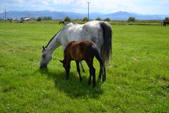 Grey Mare and Foal Stock Photography