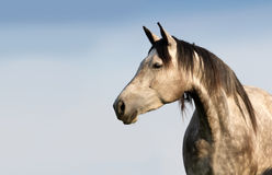 Grey mare outdoor Stock Photography