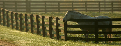 Grey mare in paddock Stock Image