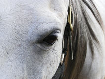Grey mare's face Royalty Free Stock Photo