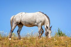 Grey Mare and the Sky. Horse portrait of a Grey Pinto Mare under a beautiful blue sky stock photos