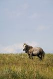 Grey mare in summer pasture Stock Image