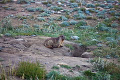 Grey marmots at the entrance to her hole Royalty Free Stock Photo